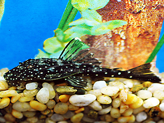 L235 Flyer Cat pleco