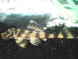 L243 Peckoltia Pleco