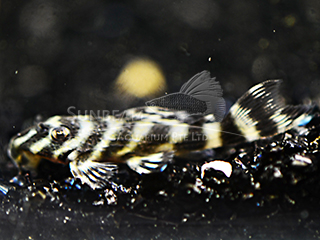 L270 Chococlate Pleco Catfish
