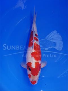 Fresh Water Fish – WYSIWYG KOI | Sunbeam Aquarium Singapore