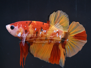 WYSIWYG Candy Nemo PK Male