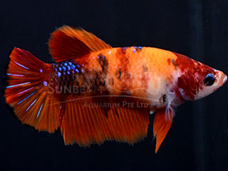 WYSIWYG Candy Nemo HMPK feMALE