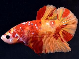 WYSIWYG Candy Nemo HMPK MALE
