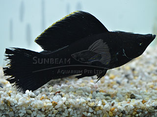 Black SAILFIN molly