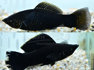 Black SAILFIN molly (pairS)