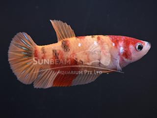 WYSIWYG Candy Nemo PK Female
