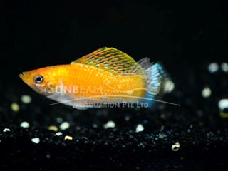 saffron lyretail molly (male)