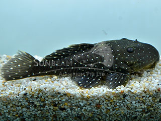 L31 peppermint pleco