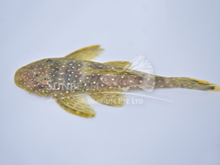 L67 Yellow-edged Bearded Pleco