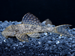 L37 honeycomb Pleco