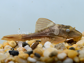 L137 Blue Eye Red Fin Pleco
