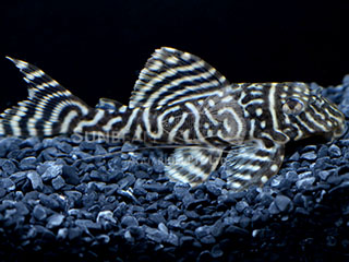 L333 Black & White Pleco