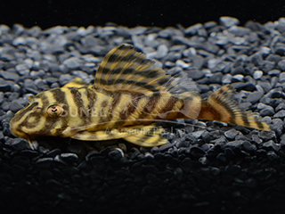 L333 Yellow King Tiger Pleco