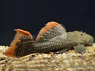 L600 Leopard Cactus Pleco