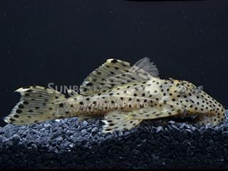 L264 Dalmatian Pleco