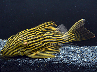 L27c Golden Line Royal Pleco