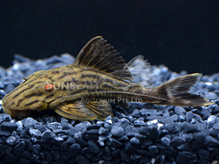 L27a Wood Grain Royal Pleco