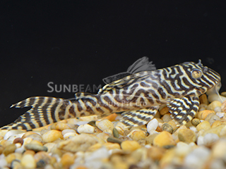 L66 Super Yellow Pleco