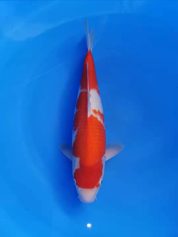Sakai Kohaku 43cm
