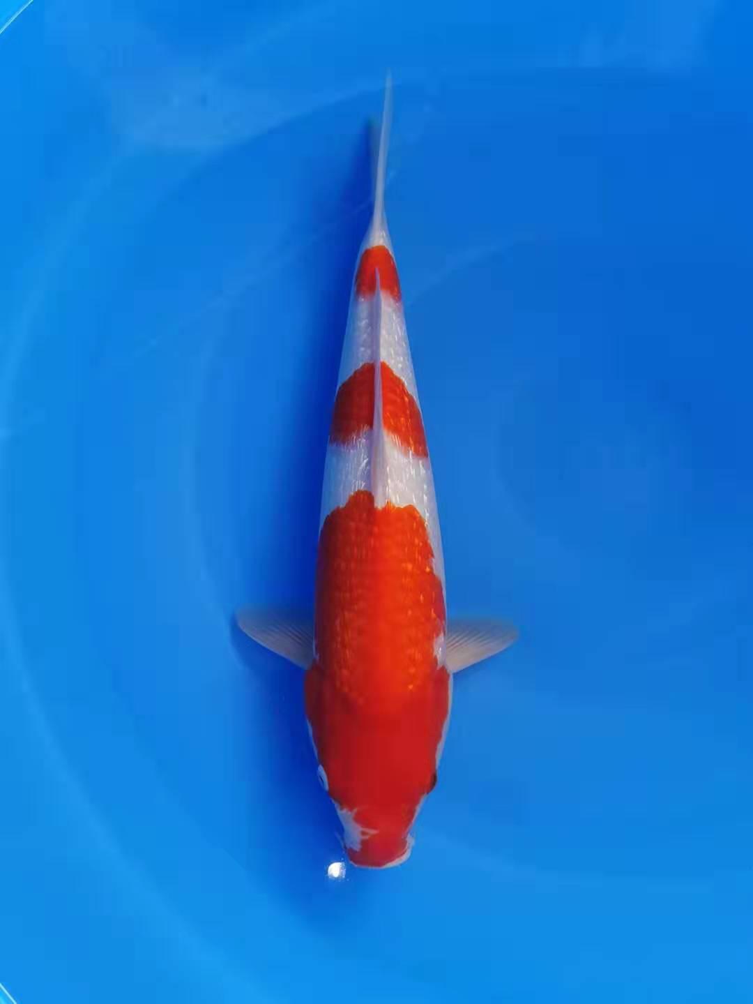 Marujyu Ginrin Kohaku 45cm