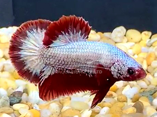 WYSIWYG Red dRAGON HMPK (Male)