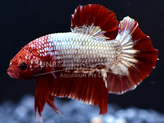 WYSIWYG Red Samurai (Male)
