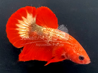WYSIWYG Red Marvel (Male)