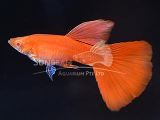 albino full red guppy - big dorsal