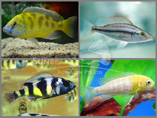 Assorted Haplochromis