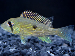eartheater Cheek-stripe cichlid