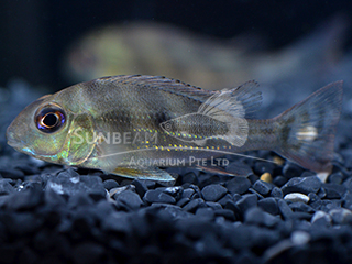 Eartheater Winemiller's cichlid