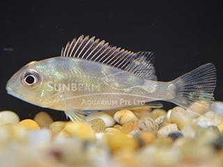 eartheater Megasema Cichlid