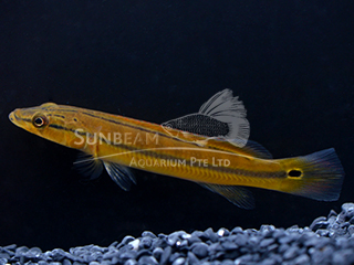 Red Pike Cichlid
