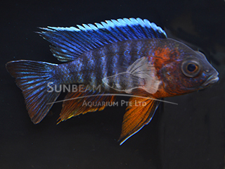 Peacock Red-sided Neck Cichlid