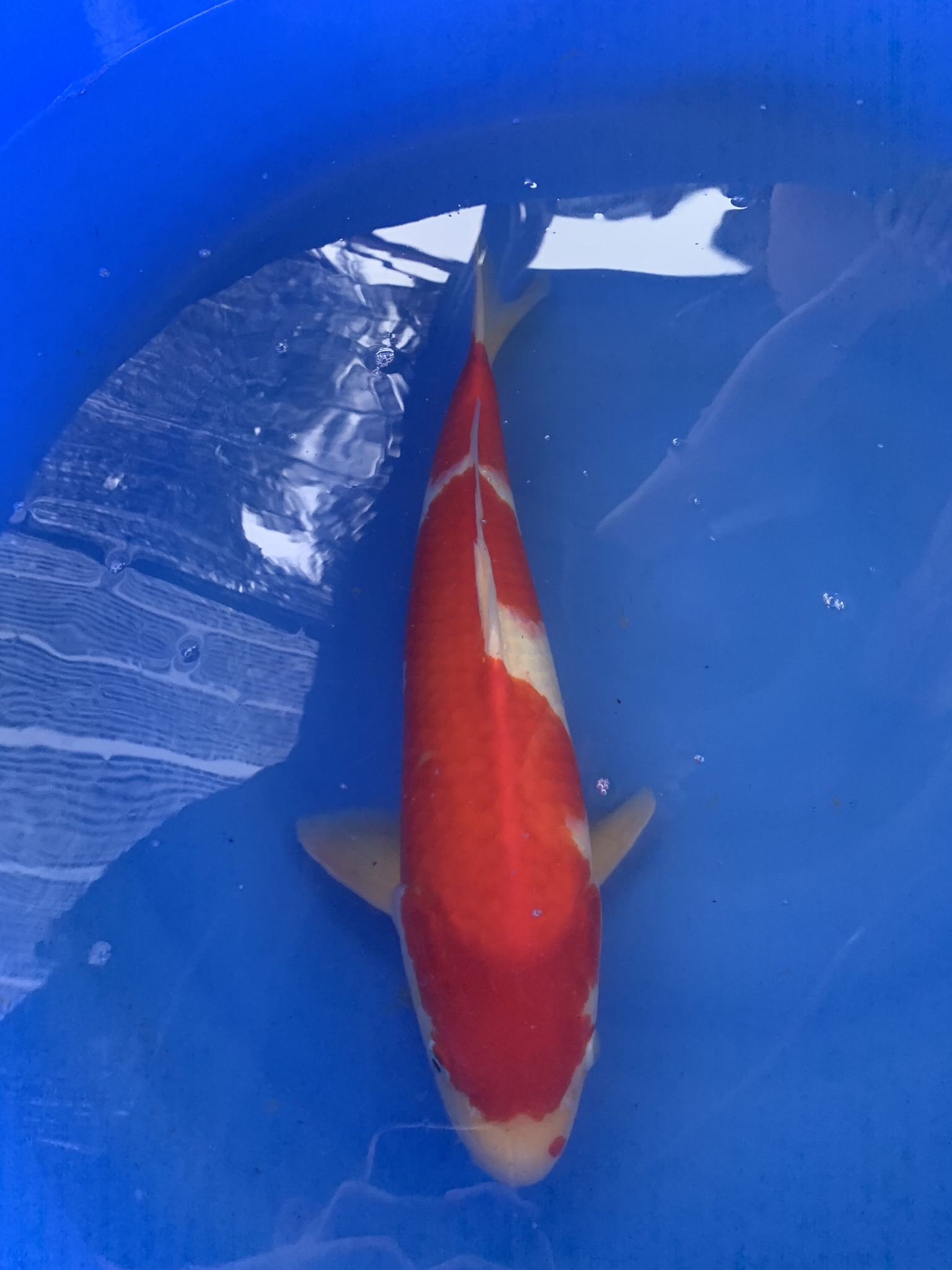wysiwyg Taniguchi Kohaku 49cm