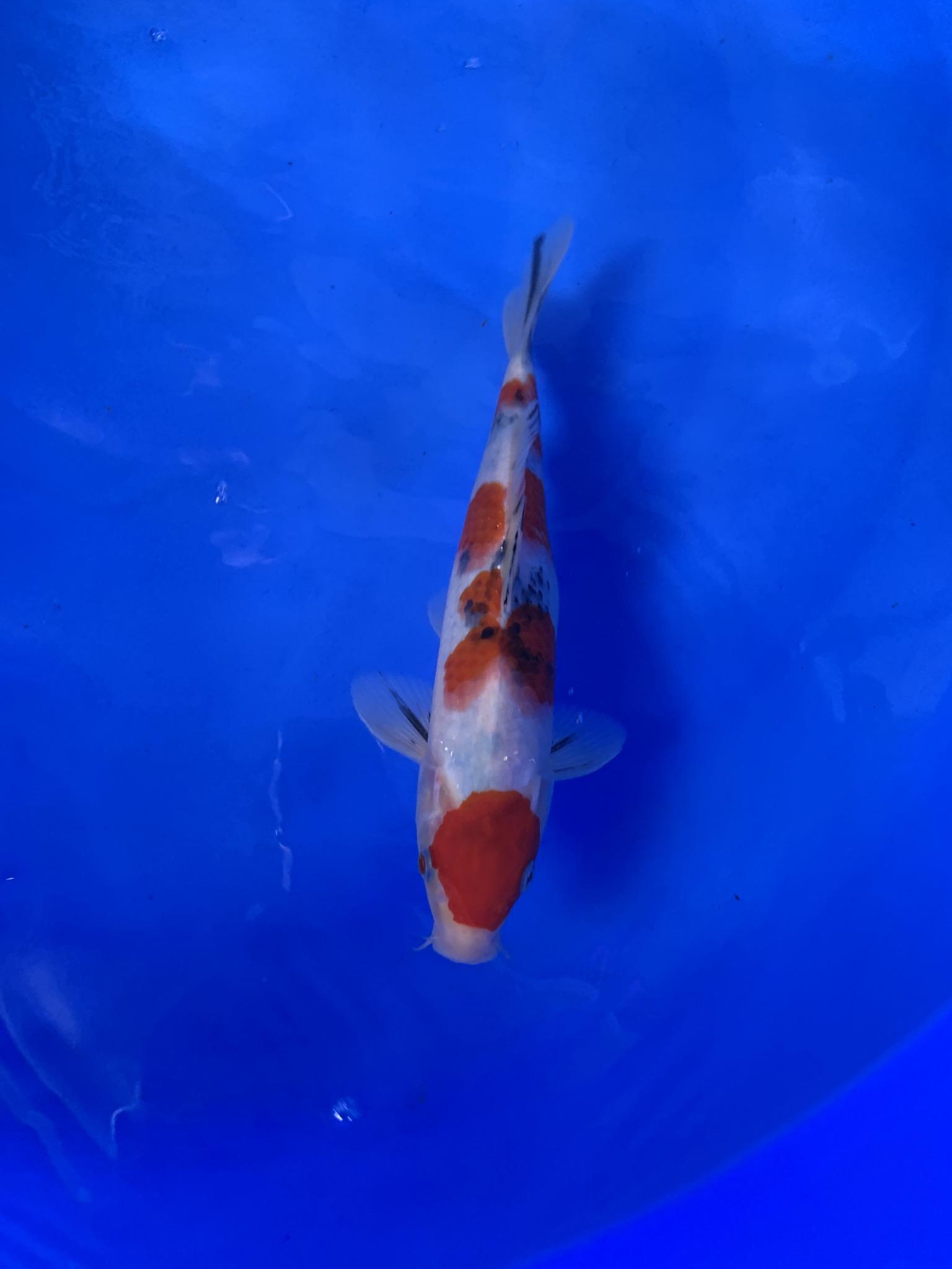 wysiwyg Oishi Sanke 26cm