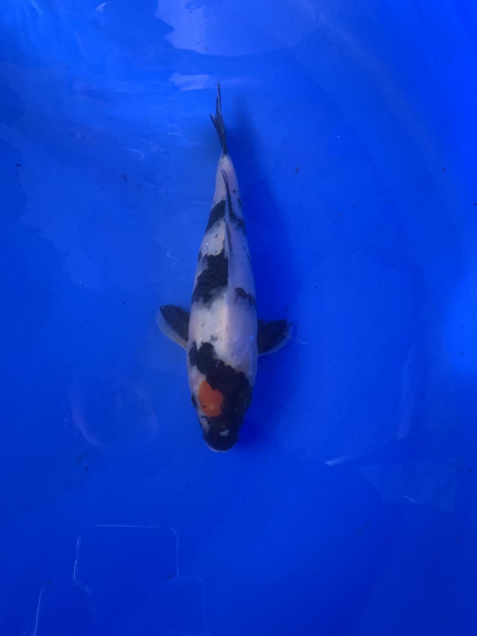 wysiwyg Oishi Tancho Kohaku 26cm