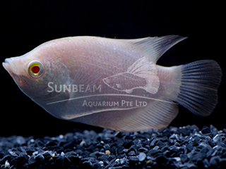 Giant Albino red eye Gourami