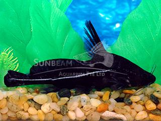 Black Lancer Catfish
