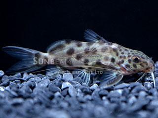 Notorious Cuckoo Catfish