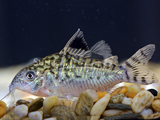 Reticulated Cory