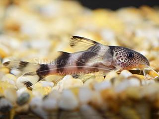 Clown Squeaker Catfish