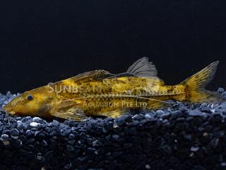 Marbled Thorny Catfish