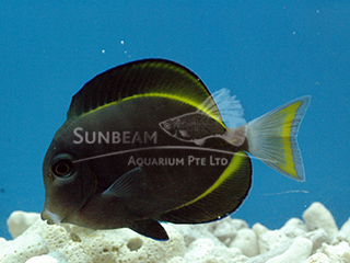 Powder-black Surgeonfish
