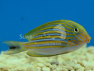 Clown Surgeonfish