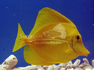HAWAIIAN Yellow Tang