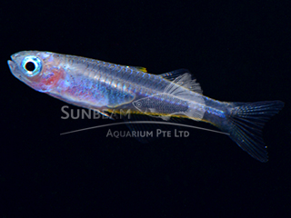Forktail Rainbow