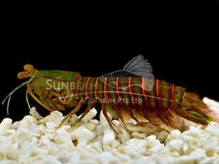 colour mantis shrimp