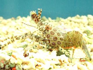 monkey (semar) shrimp