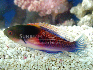 Blue-sided Fairy Wrasse